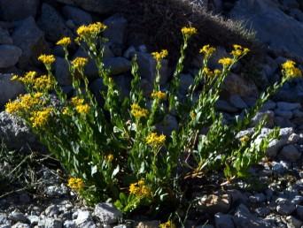 צמחי החרמון. גובהם 60-40 ס
