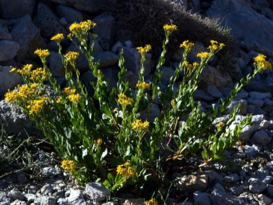 סביון ההרים Senecio doriiformis DC.