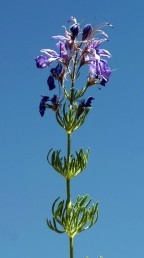 גובה הצמח 50-20 ס