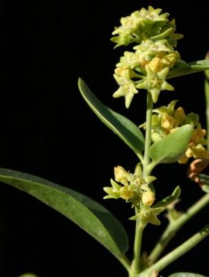 איסם קטן-פרחים Vincetoxicum dionysiense Mouterde
