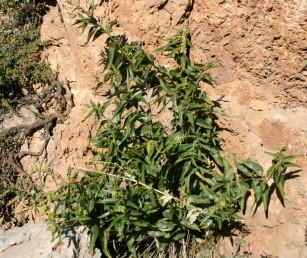 עשבים רב-שנתיים זקופים גובהם עד כ-1 מ', גדלים בין טרשים בחרמון.