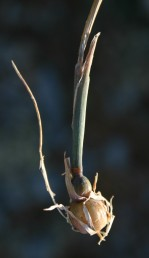 בבסיס של לפחות חלק מהגבעולים יש פקעות כדוריות.