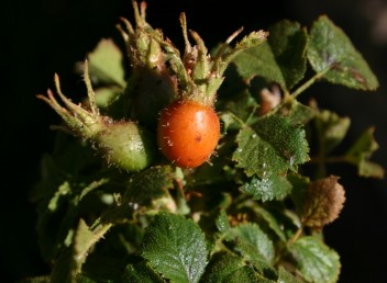 העלים, הגביעים והפירות מכוסים שערות בלוטיות ארוכות. צמחים הגדלים על מדרונות בחרמון.