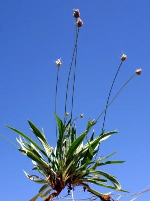 Plantago lanceolata L.