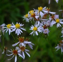 הפרחים הלשוניים ערוכים ב-2-1 דורים, צבעם כחול, סגול או לבנבן. עשבים רב-שנתיים הגדלים במלחות עמק עכו.