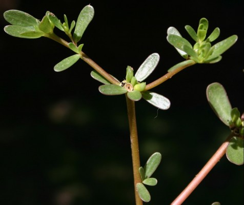 Portulaca oleracea L.