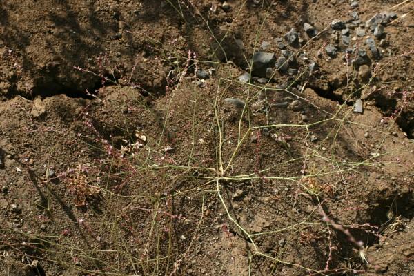 ארכובית ורודה Polygonum arenarium Waldst. & Kit.