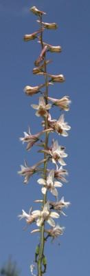 דורבנית התבור Delphinium ithaburense Boiss.