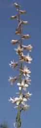 הפרחים תכולים-לבנים. עלי-הכותרת הצדדיים בעלי שערות ארוכות.