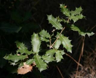 עצים או שיחים ירוקי-עד, העלים קירחים, גלדניים ועל פי רוב, בצעירותם יש בשפתם שיניים דוקרניות.