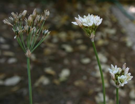 אחישום מצוי Nothoscordum xborbonicum Kunth