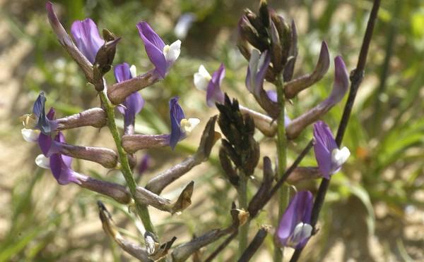 Astragalus sanctus Boiss.