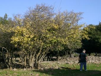 עצים משירי-עלים בחורף, מפותחים בחורשים או בשרידיהם.