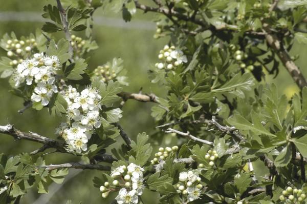עוזרר קוצני Crataegus aronia (L.) DC.