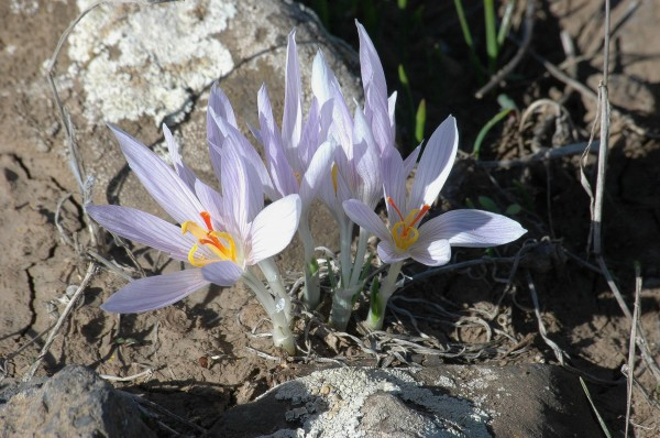 כרכום נאה Crocus pallasii Goldb.
