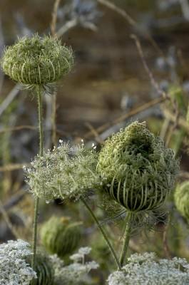 גזר קיפח Daucus carota L.