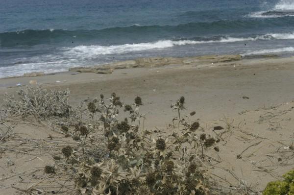 חרחבינה חופית Eryngium maritimum L.
