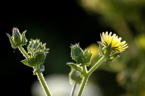 תולענית דוקרנית Helminthotheca echioides (L.) Holub