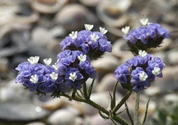 עדעד כחול Limonium sinuatum (L.) Mill.