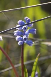 הפרחים הפורים בעלי צבע כחול בהיר או לעתים לילך בהיר. פורחים בסתיו לפני- או עם הגשמים הראשונים.