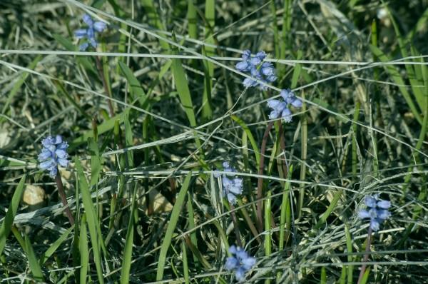 כדן קטן-פרחים Muscari parviflorum Desf.