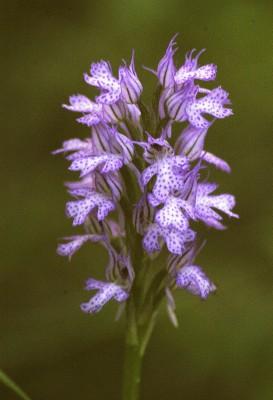 Orchis tridentata Scop.