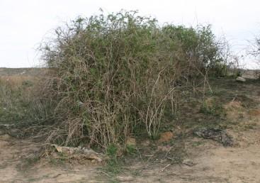 שיחים בעלי ענפים קשתיים משירים עליהם בקיץ.