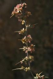 הענפים הקוצניים נושאים פרחים המתפתחים לפירות עטויי כנפיים.