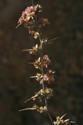 נואית קוצנית Noaea mucronata (Forssk.) Asch. & Schweinf.
