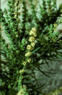 בת-רכפה מרצענית Oligomeris linifolia (Vahl ex Hornem.) J.F.Macbr.