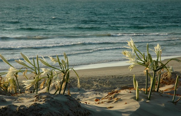 חבצלת החוף Pancratium maritimum L.