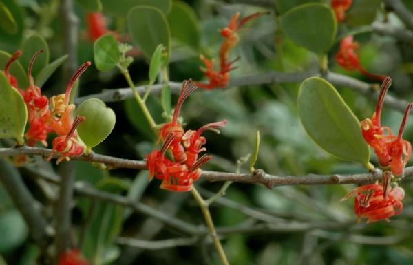 Plicosepalus acaciae (Zucc.) Wiens & Polhill