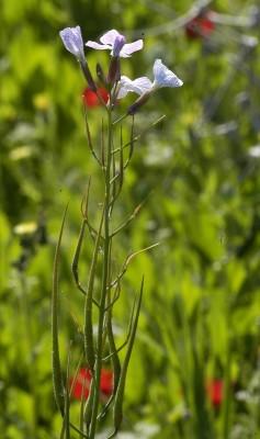 Raphanus rostratus DC.