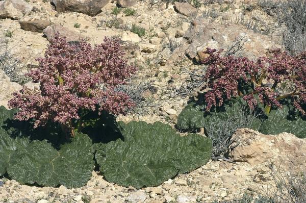 ריבס המדבר Rheum palaestinum Feinbrun