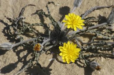 העלים דמויי סרגל או אזמל, גליים בשפתם. הפרחים צהובים.