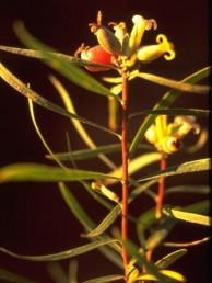 שיחים גבוהים , 2-1 מ', ירוקי-עד קירחים. העלים מסורגים דמויי סרגל. הפרי המבשיל אדמדם ובראשו 4 עלי-גביע.