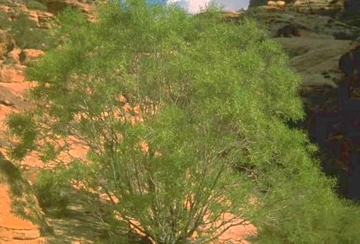 דפנית צרת-עלים Daphne linearifolia Hart