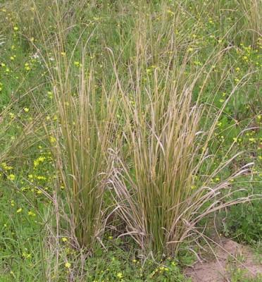חילף החולות Desmostachya bipinnata (L.) Stapf