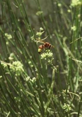 קזוח תלת-קרני Deverra triradiata Hochst. ex Boiss.