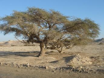 העץ בעל 2-1 גזעים.