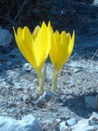 צבע עלי-העטיף צהוב רוחב אונותיו עולה על 10 מ