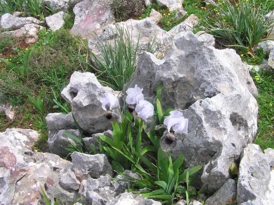 Iris bismarckiana Regel