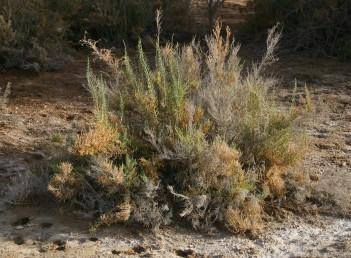 בן-שיח בשרני, הענפים בעלי פרקים ומפרקים בולטים לעין. העלים נגדיים, קשקשיים, קרומיים בשפתם; הקרום בין שני עלים שסוע.