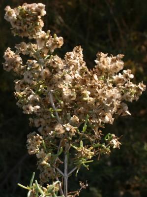 שנהבית הרוזמרין Seidlitzia rosmarinus Bunge ex Boiss.