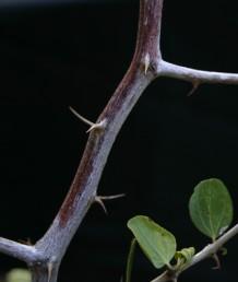 עצים נמוכים או שיחים. העלים מבריקים, בעלי 3 עורקים בולטים וזוג קוצי לוואי האחד ישר והשני מאונקל.