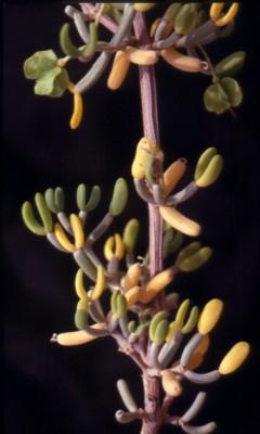Zygophyllum dumosum Boiss.
