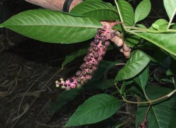 עשב רב-שנתי קירח. העלים פשוטים, שפתם תמימה, אורכם 25-10 ס