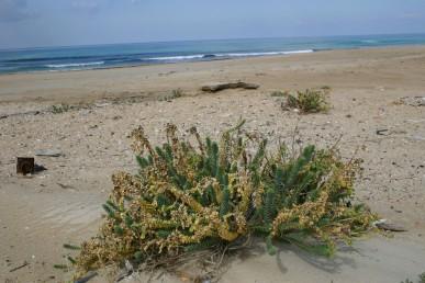 צמחים הגדלים באזור הרסס של חוף הים-התיכון.