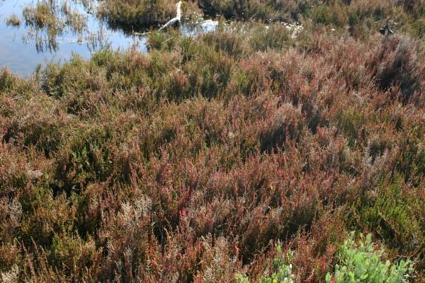 שרשר רב-שנתי Sarcocornia perennis (Mill.) A.J.Scott