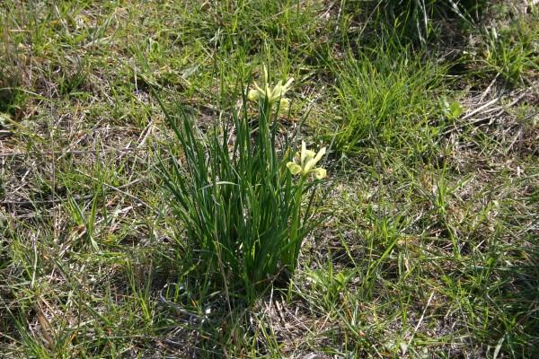 אירוס הביצות Iris grant-duffii Baker